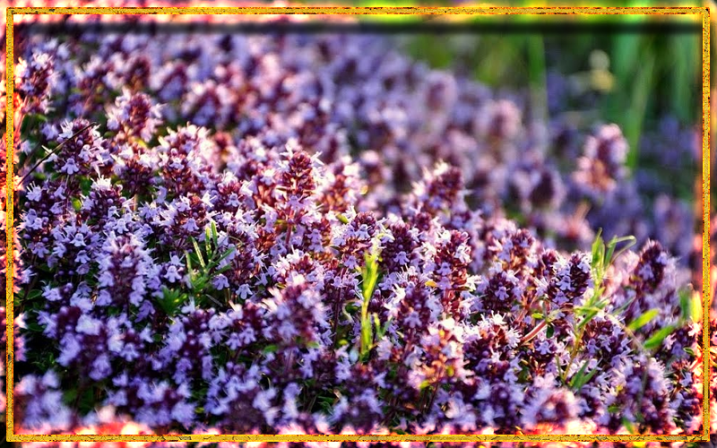 красивый фиолетовый цветок, чабрец, чабрец в магии