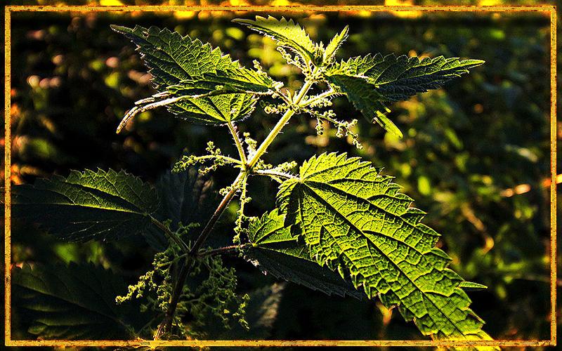 крапива, целебные свойства, лекарственное растение