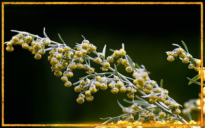 цветок полынь, горькая трава, полынь для очищения, магические свойства полыни